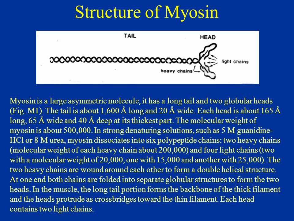 Structure of Myosin