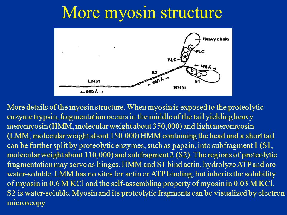More myosin structure More details of the myosin structure. When myosin is exposed to the proteolytic.