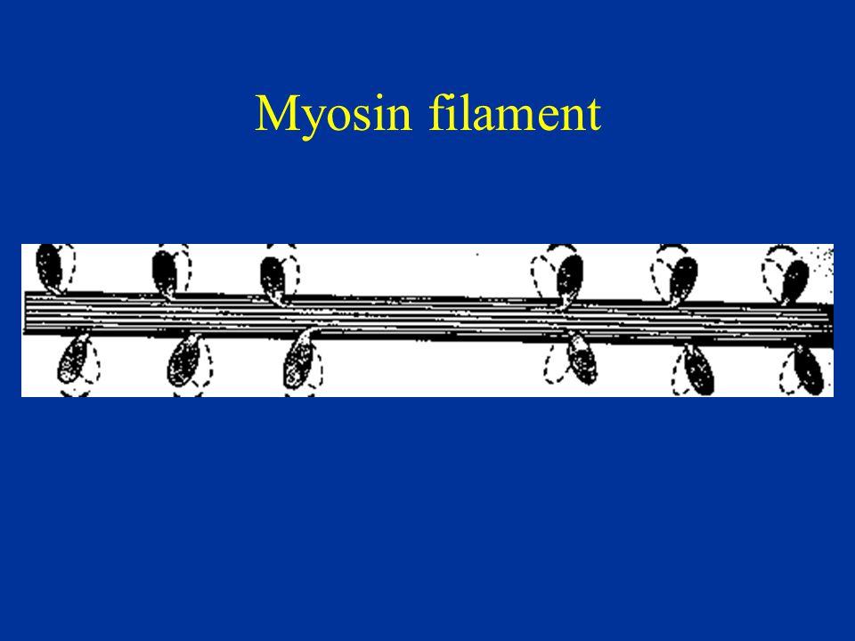 Myosin filament