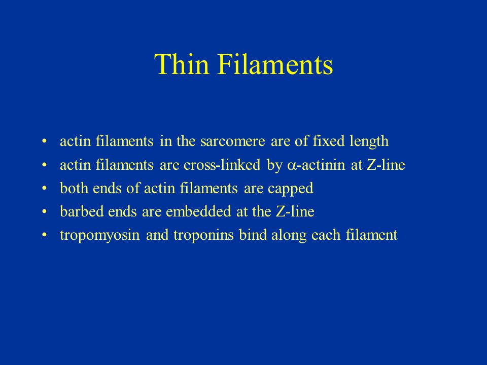 Thin Filaments actin filaments in the sarcomere are of fixed length