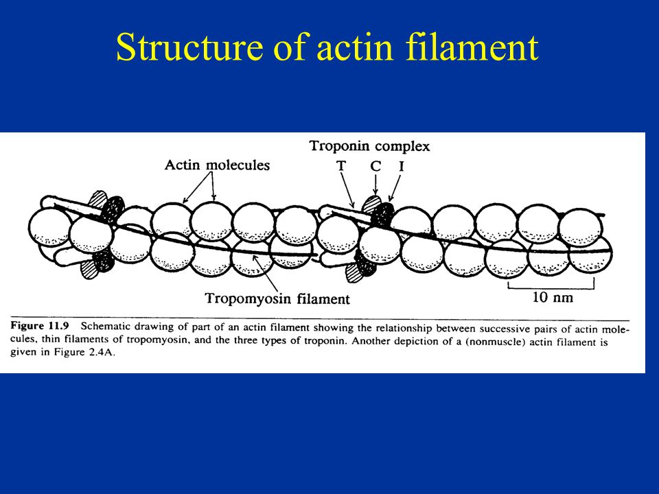 Structure of actin filament