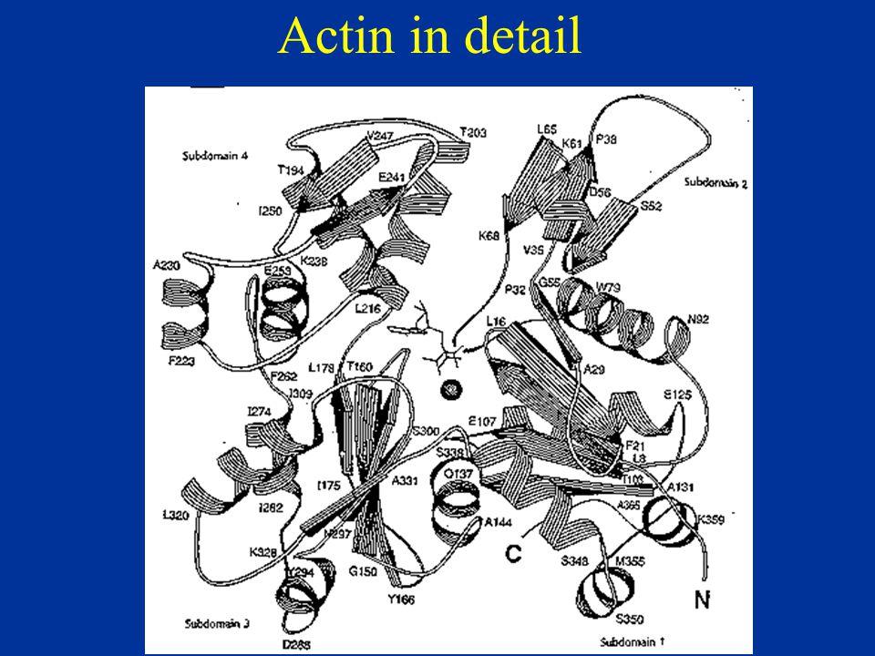 Actin in detail