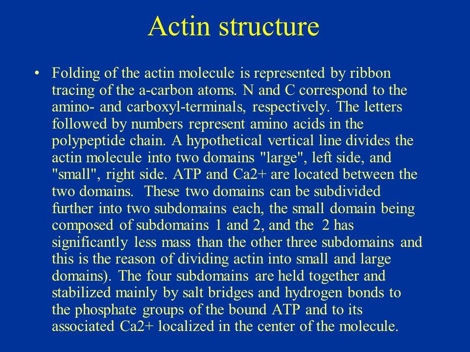 Actin structure
