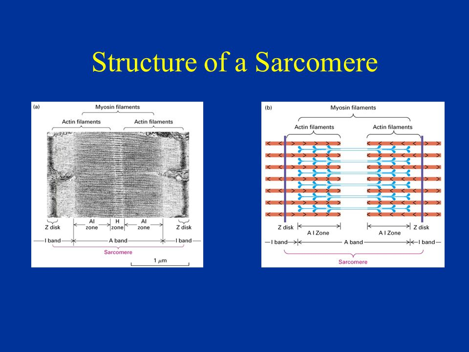 Structure of a Sarcomere