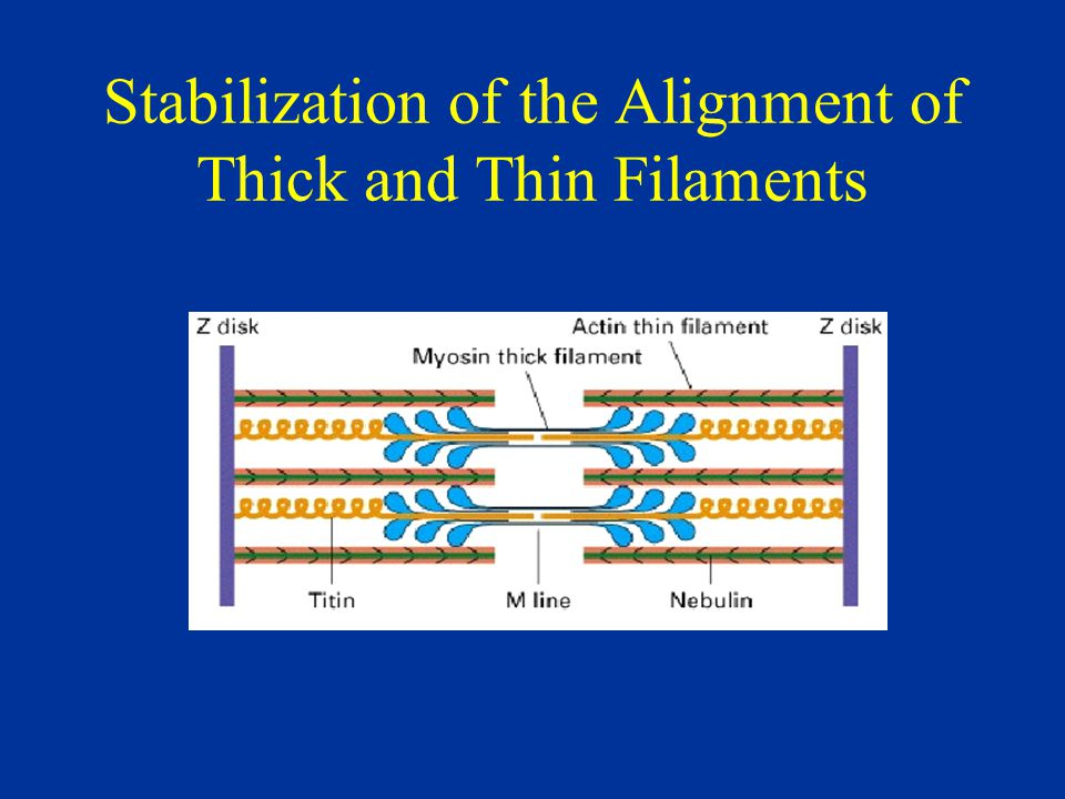 Stabilization of the Alignment of Thick and Thin Filaments