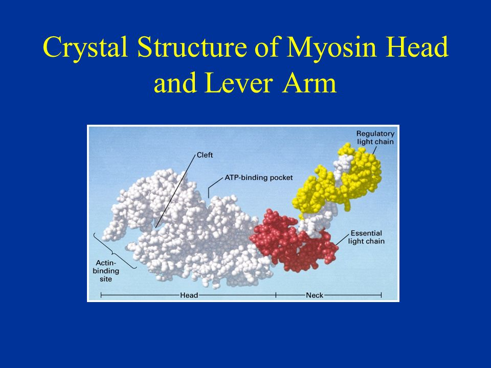 Crystal Structure of Myosin Head and Lever Arm