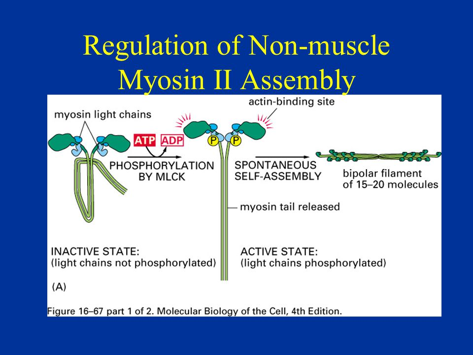 Regulation of Non-muscle Myosin II Assembly