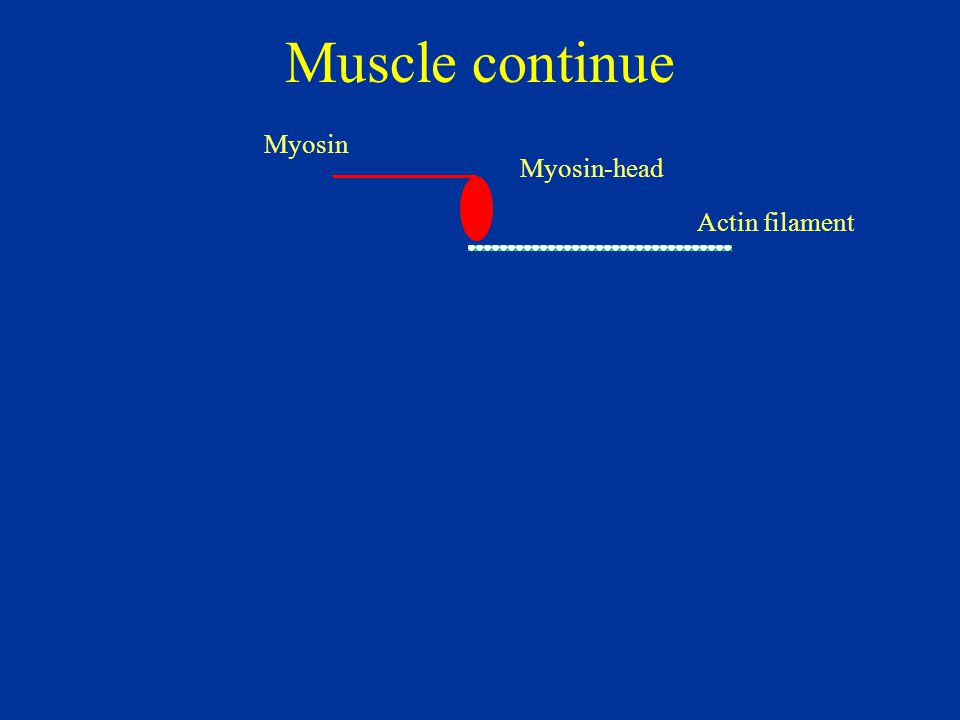 Muscle continue Myosin Myosin-head Actin filament