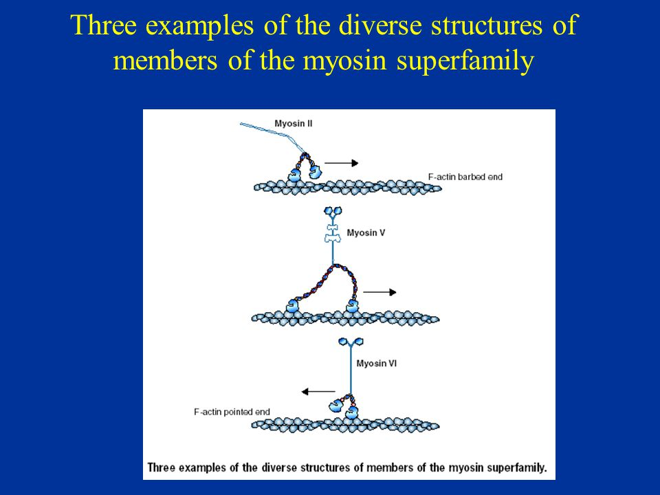 Three examples of the diverse structures of members of the myosin superfamily