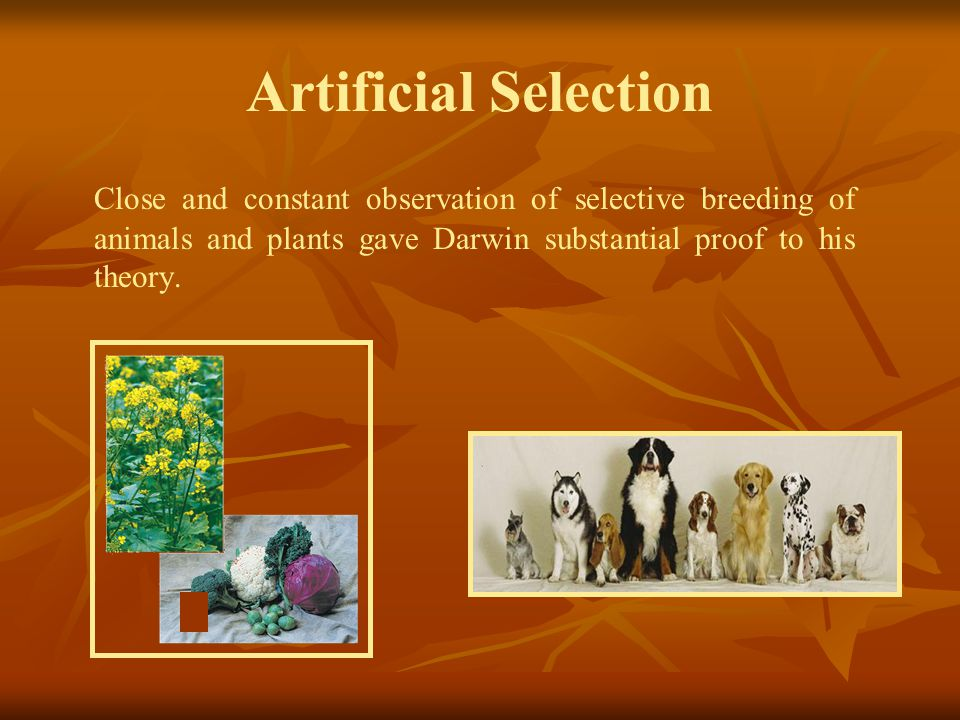 Artificial Selection Close and constant observation of selective breeding of animals and plants gave Darwin substantial proof to his theory.