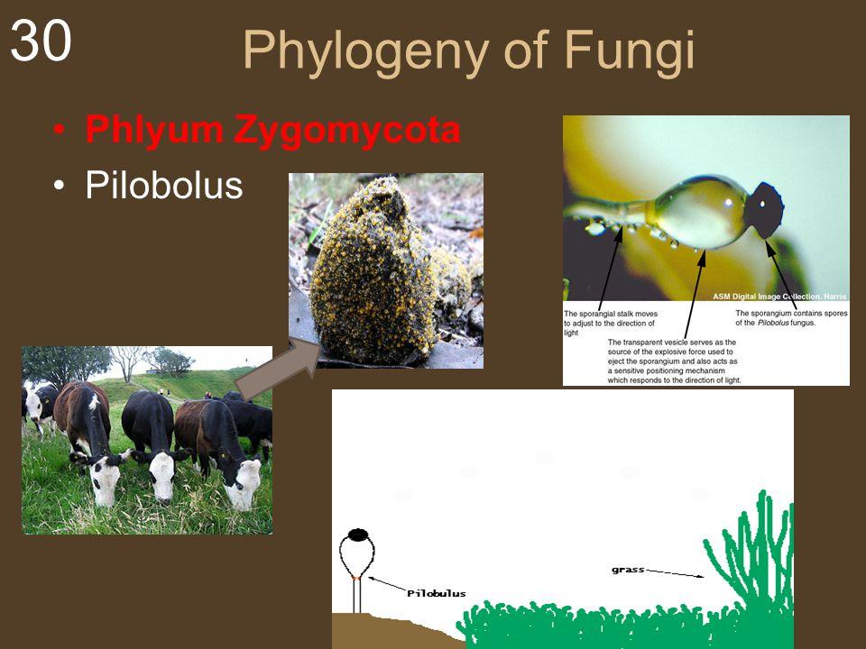 Phylogeny of Fungi Phlyum Zygomycota Pilobolus