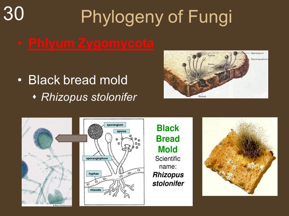 Phylogeny of Fungi Phlyum Zygomycota Black bread mold