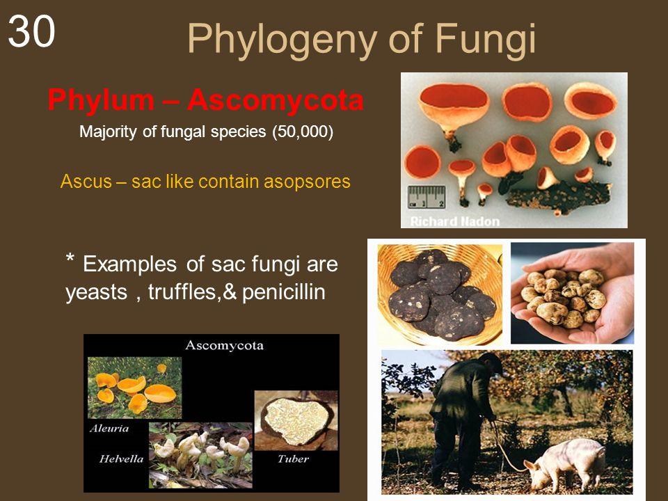 Phylogeny of Fungi Phylum – Ascomycota