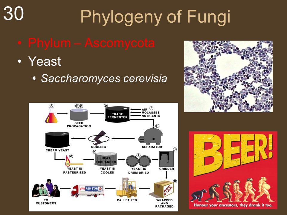 Phylogeny of Fungi Phylum – Ascomycota Yeast Saccharomyces cerevisia