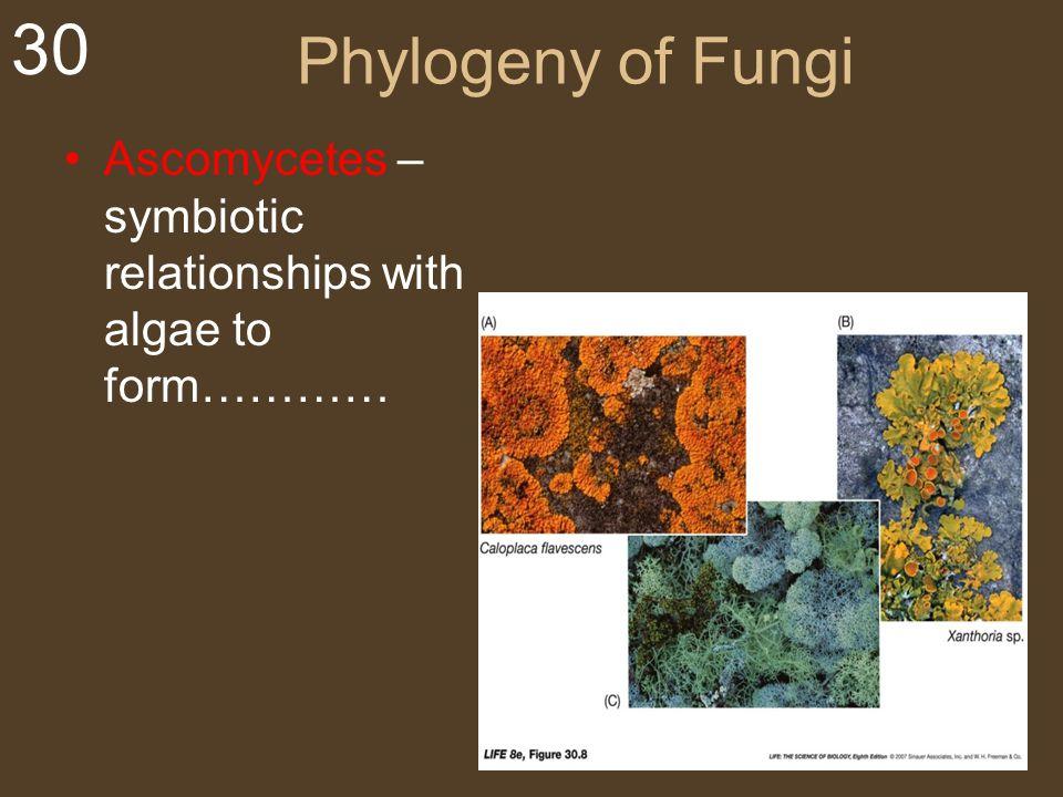 Phylogeny of Fungi Ascomycetes –symbiotic relationships with algae to form…………