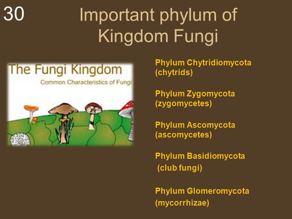 Important phylum of Kingdom Fungi