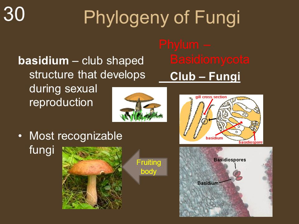 Phylogeny of Fungi Phylum – Basidiomycota