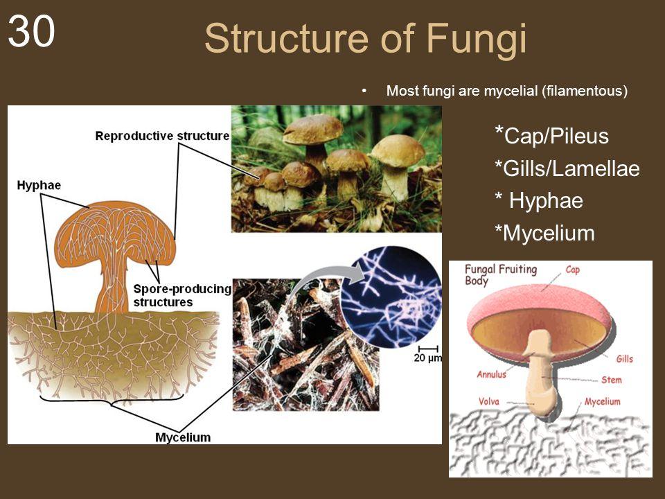 Structure of Fungi My *Gills/Lamellae * Hyphae *Mycelium