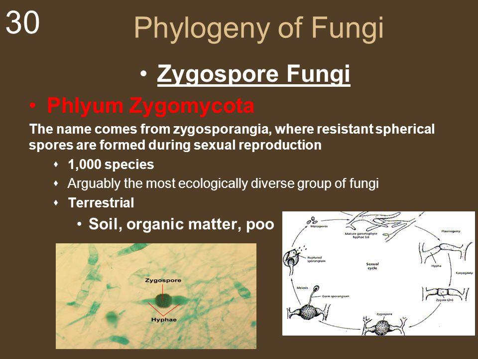 Phylogeny of Fungi Zygospore Fungi Phlyum Zygomycota