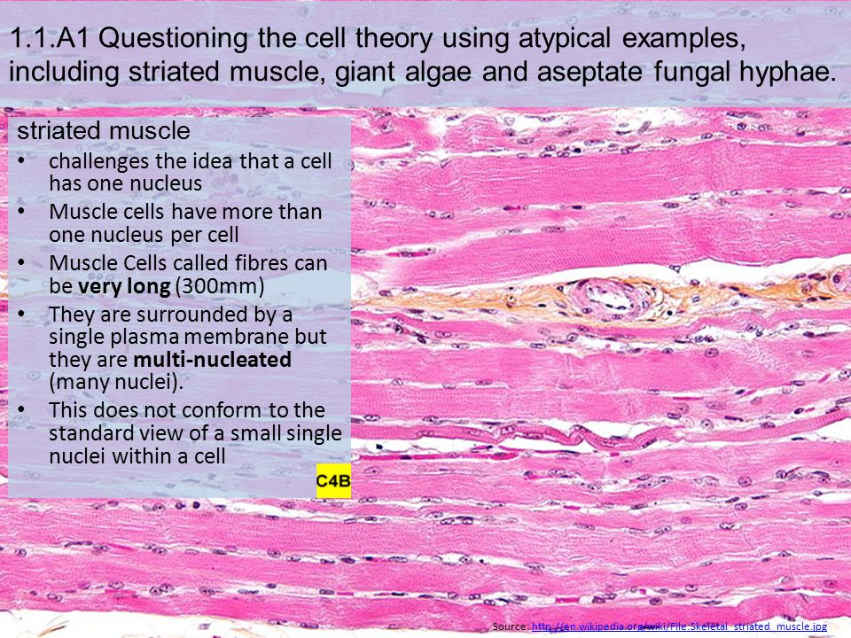 1.1.A1 Questioning the cell theory using atypical examples, including striated muscle, giant algae and aseptate fungal hyphae.
