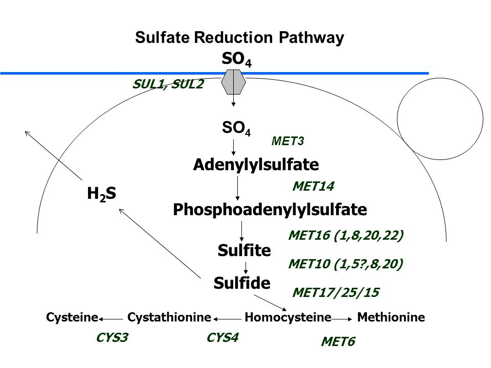 Sulfate Reduction Pathway