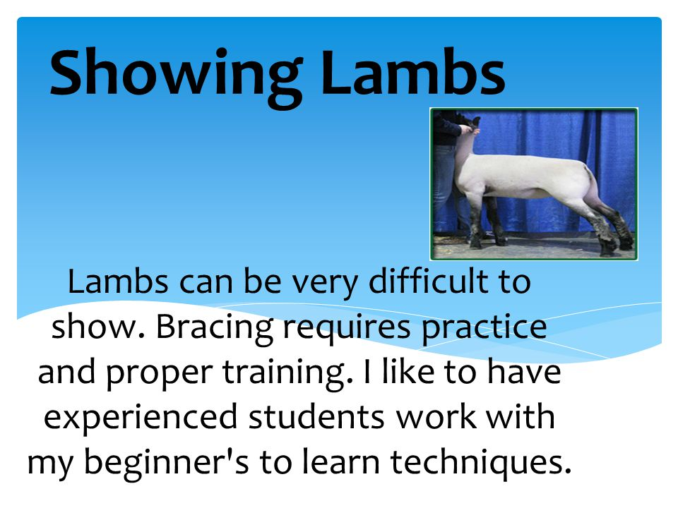 Showing Lambs