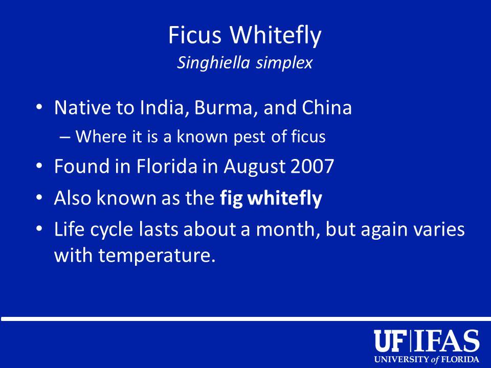 Ficus Whitefly Singhiella simplex