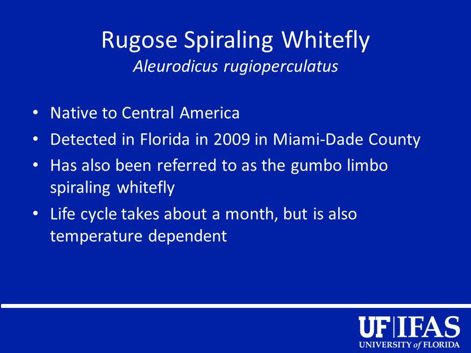 Rugose Spiraling Whitefly Aleurodicus rugioperculatus