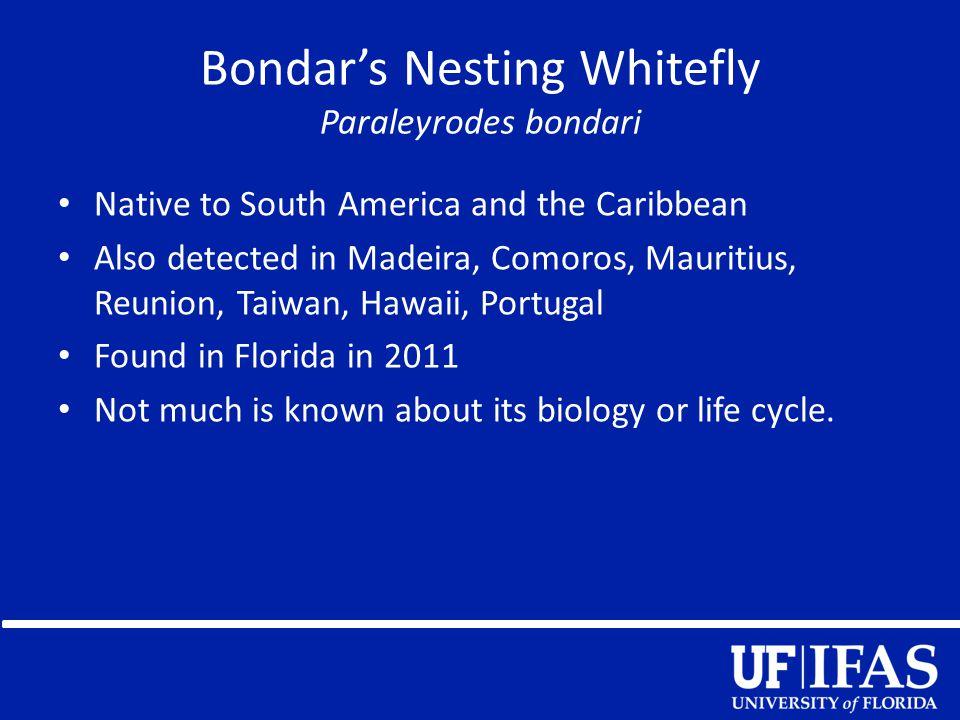 Bondar's Nesting Whitefly Paraleyrodes bondari