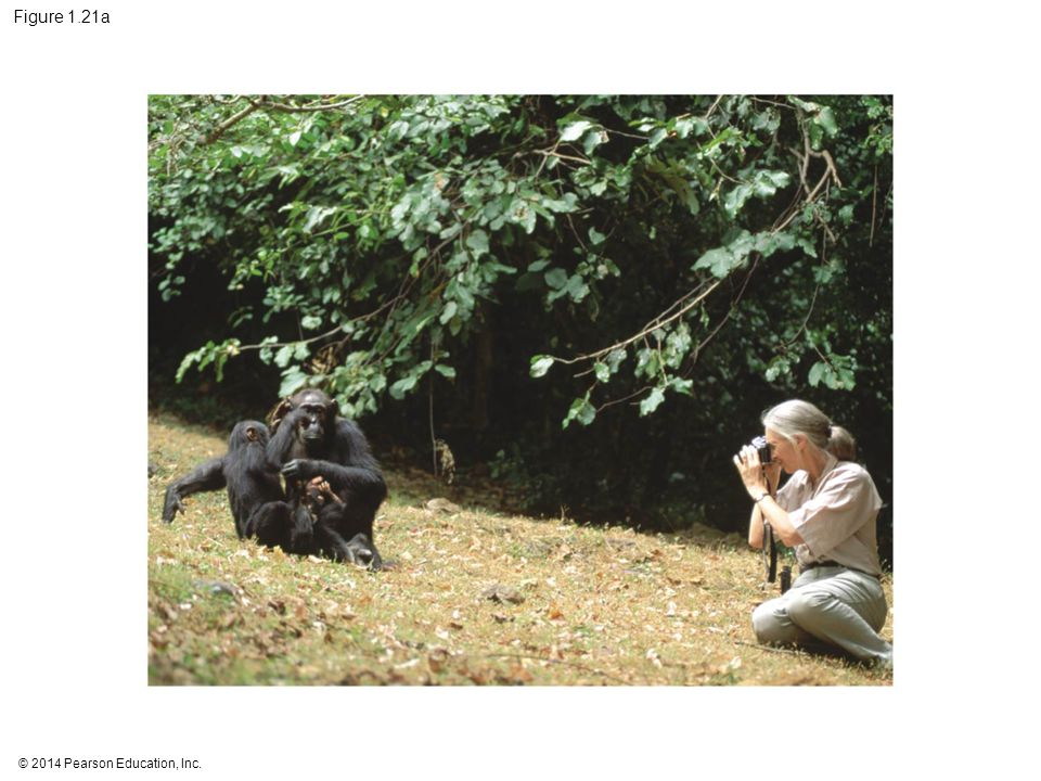 Figure 1.21a Figure 1.21a Jane Goodall collecting qualitative data on chimpanzee behavior (part 1: photo)