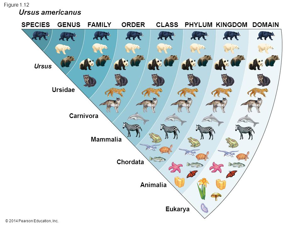 Figure 1.12 Ursus americanus. SPECIES GENUS FAMILY ORDER CLASS PHYLUM KINGDOM DOMAIN. Ursus. Ursidae.