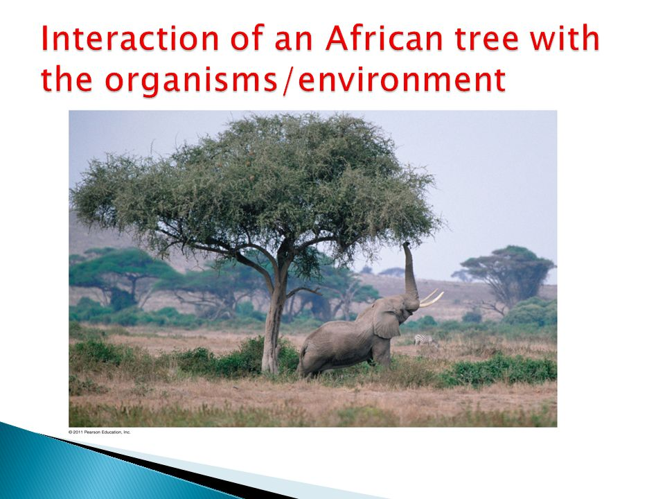Interaction of an African tree with the organisms/environment
