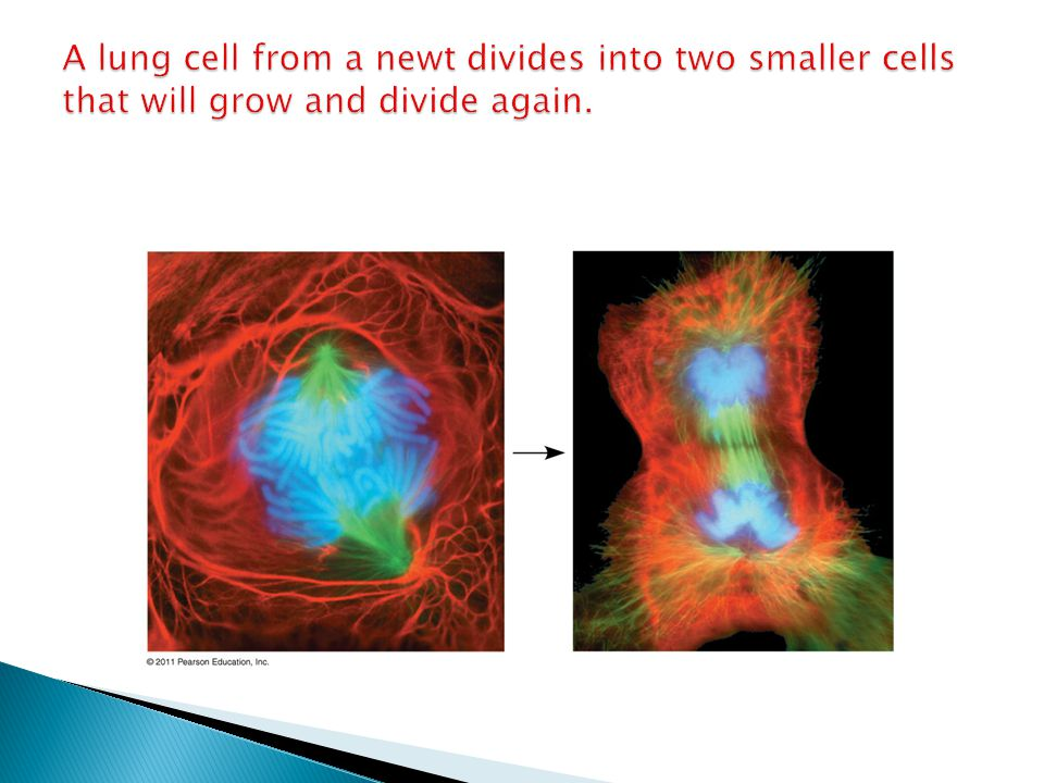 A lung cell from a newt divides into two smaller cells that will grow and divide again.