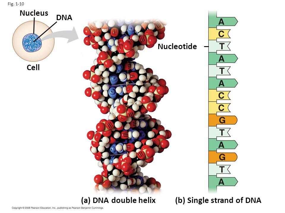 (b) Single strand of DNA