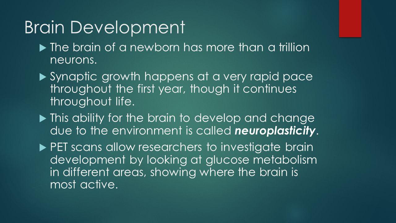 Brain Development The brain of a newborn has more than a trillion neurons.