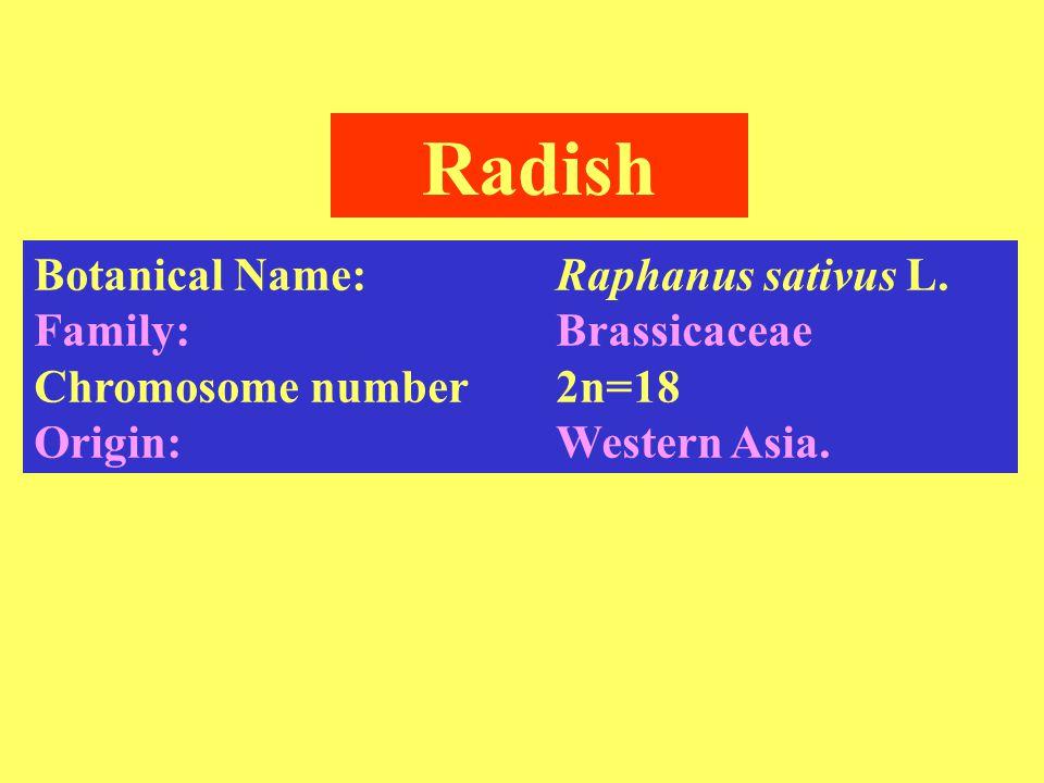 Radish Botanical Name: Raphanus sativus L. Family: Brassicaceae