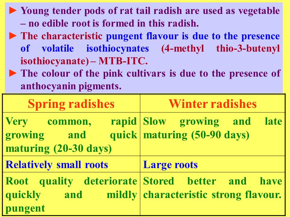 Spring radishes Winter radishes