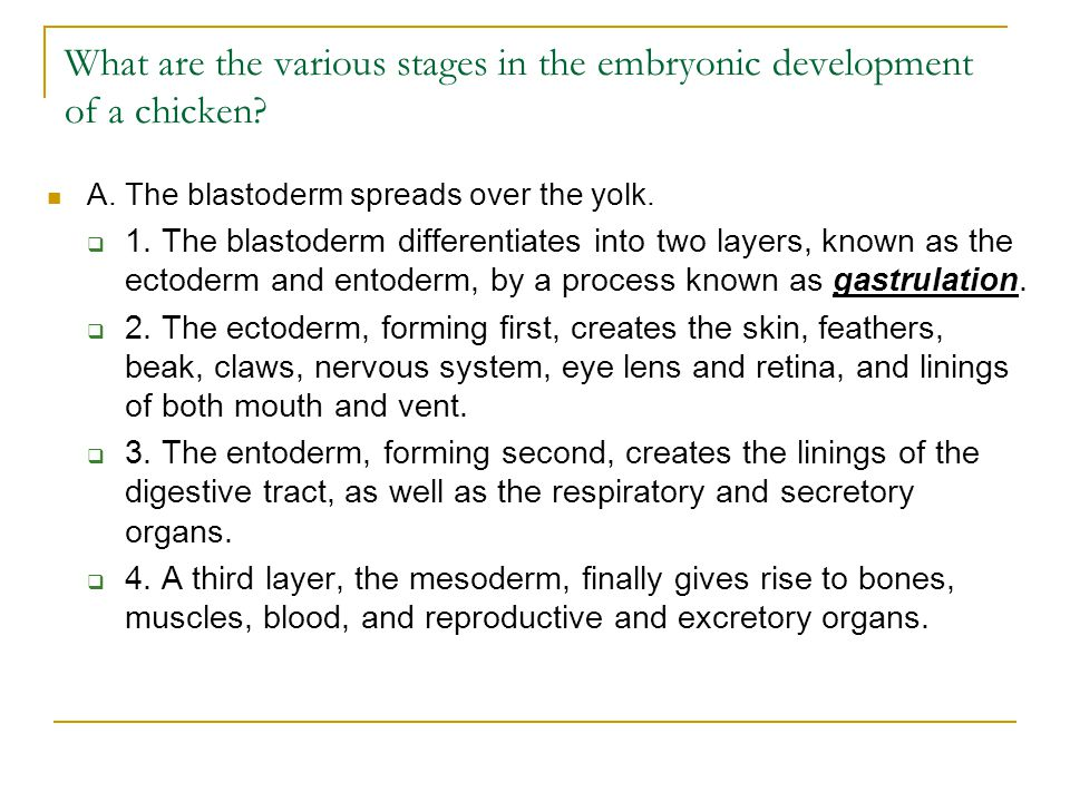 What are the various stages in the embryonic development of a chicken