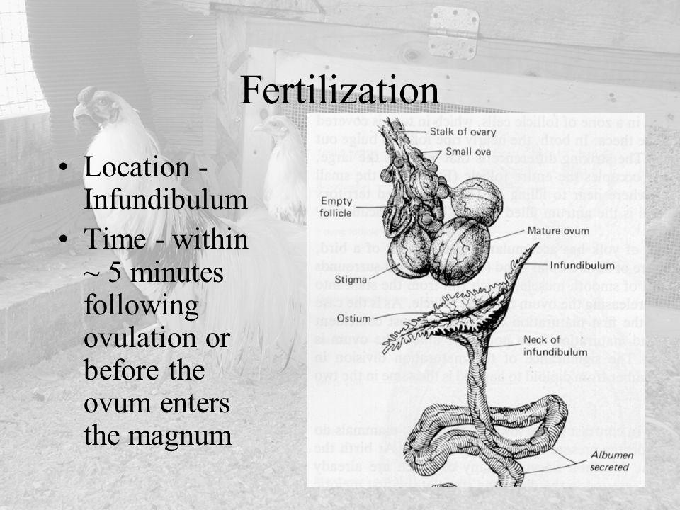 Fertilization Location - Infundibulum