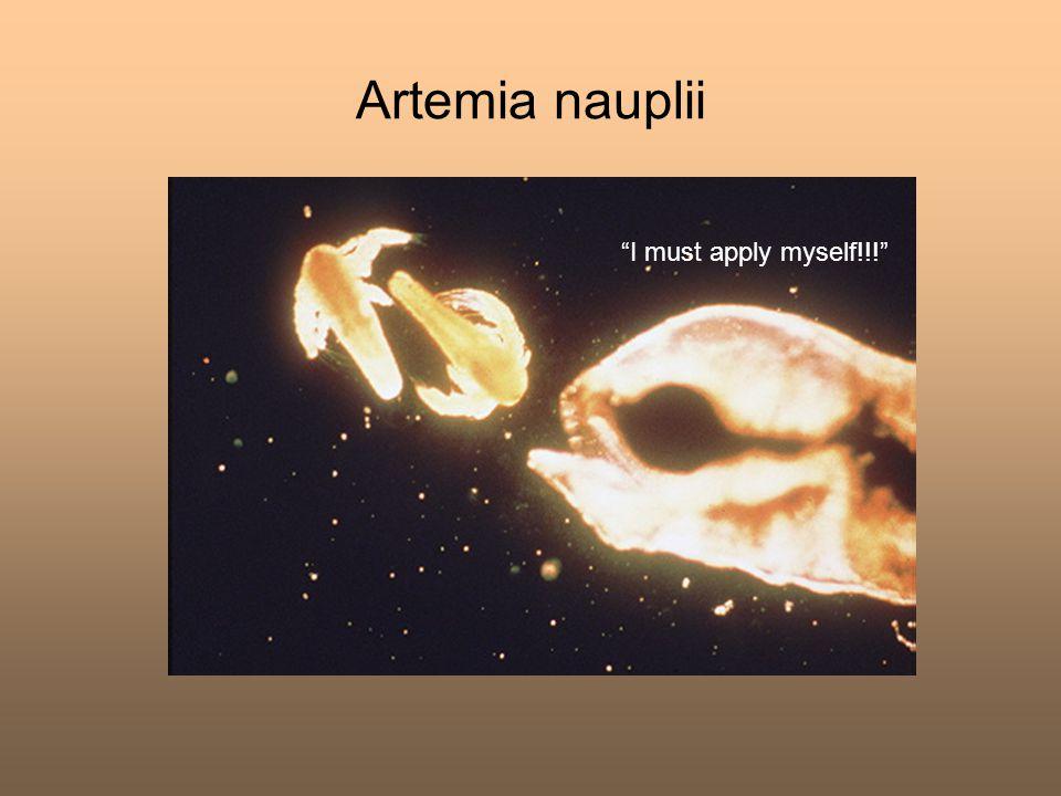 Artemia nauplii I must apply myself!!!