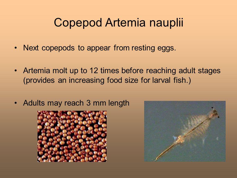 Copepod Artemia nauplii