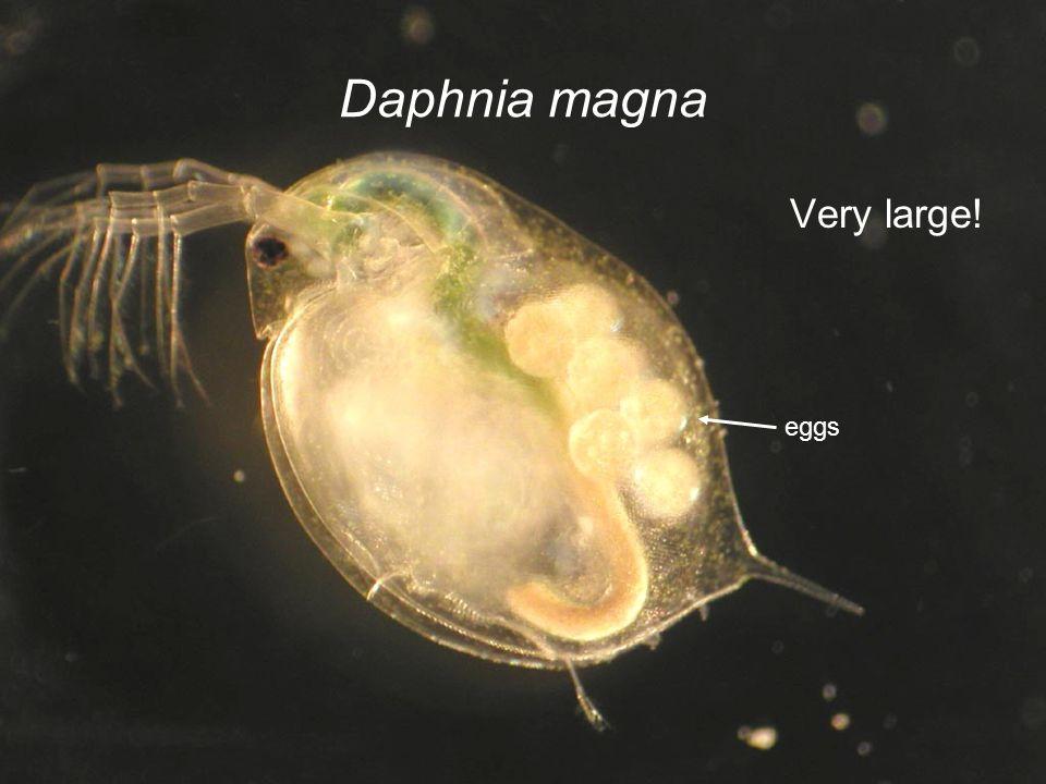 Daphnia magna Very large! eggs