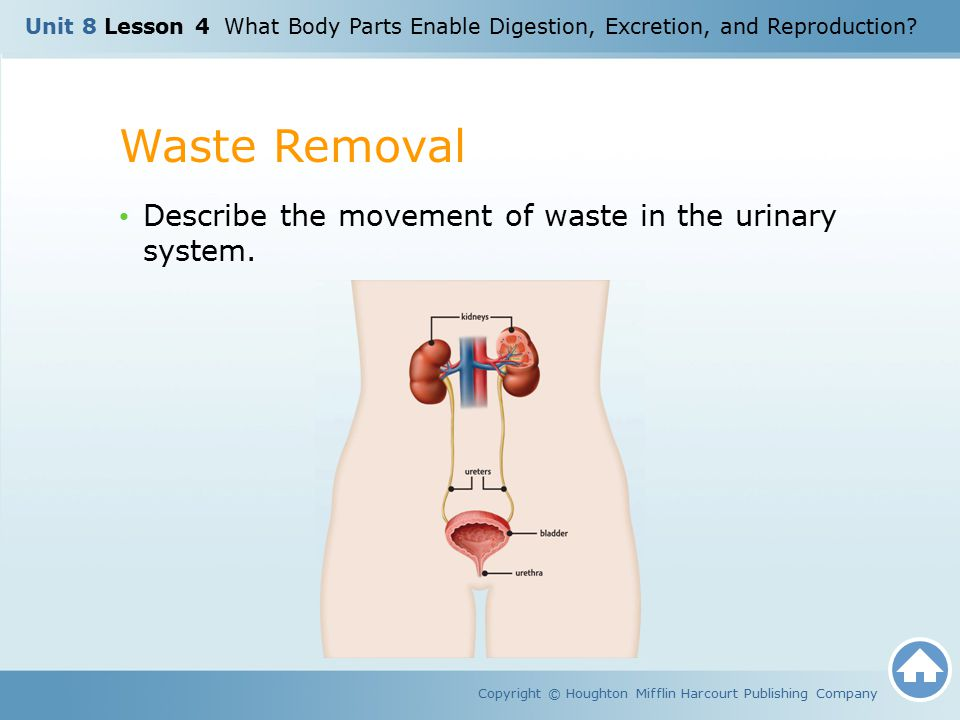 Waste Removal Describe the movement of waste in the urinary system.