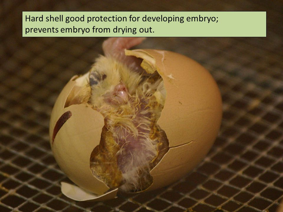 Hard shell good protection for developing embryo;