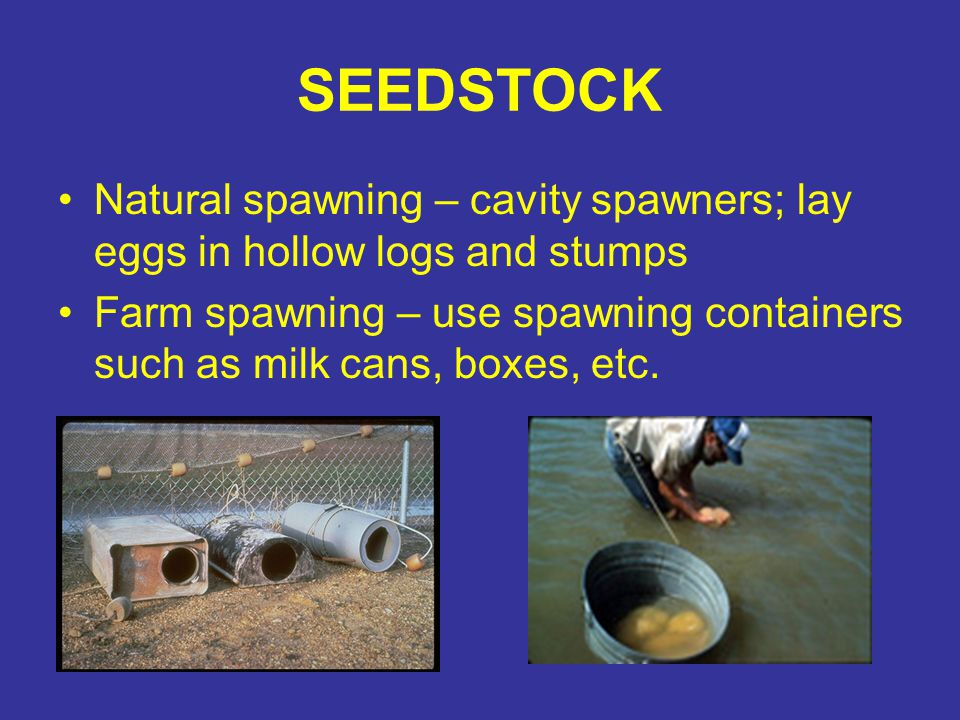 SEEDSTOCK Natural spawning – cavity spawners; lay eggs in hollow logs and stumps.