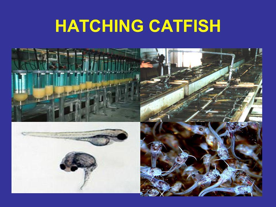 HATCHING CATFISH