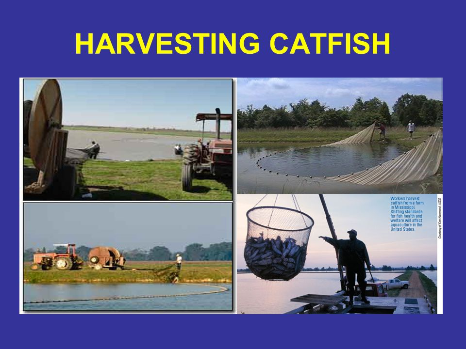 HARVESTING CATFISH
