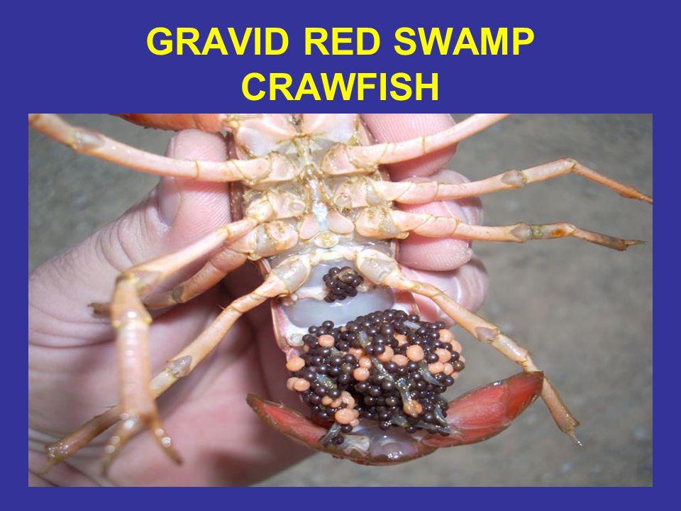 GRAVID RED SWAMP CRAWFISH