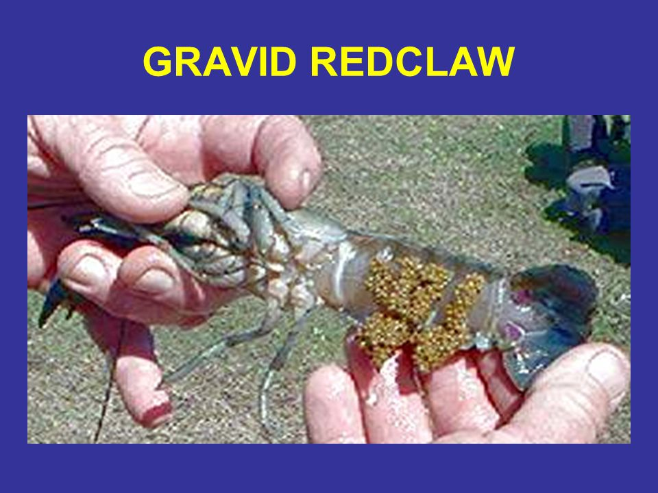 GRAVID REDCLAW