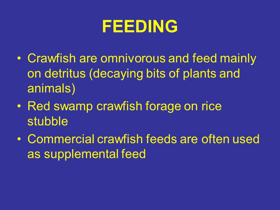 FEEDING Crawfish are omnivorous and feed mainly on detritus (decaying bits of plants and animals) Red swamp crawfish forage on rice stubble.